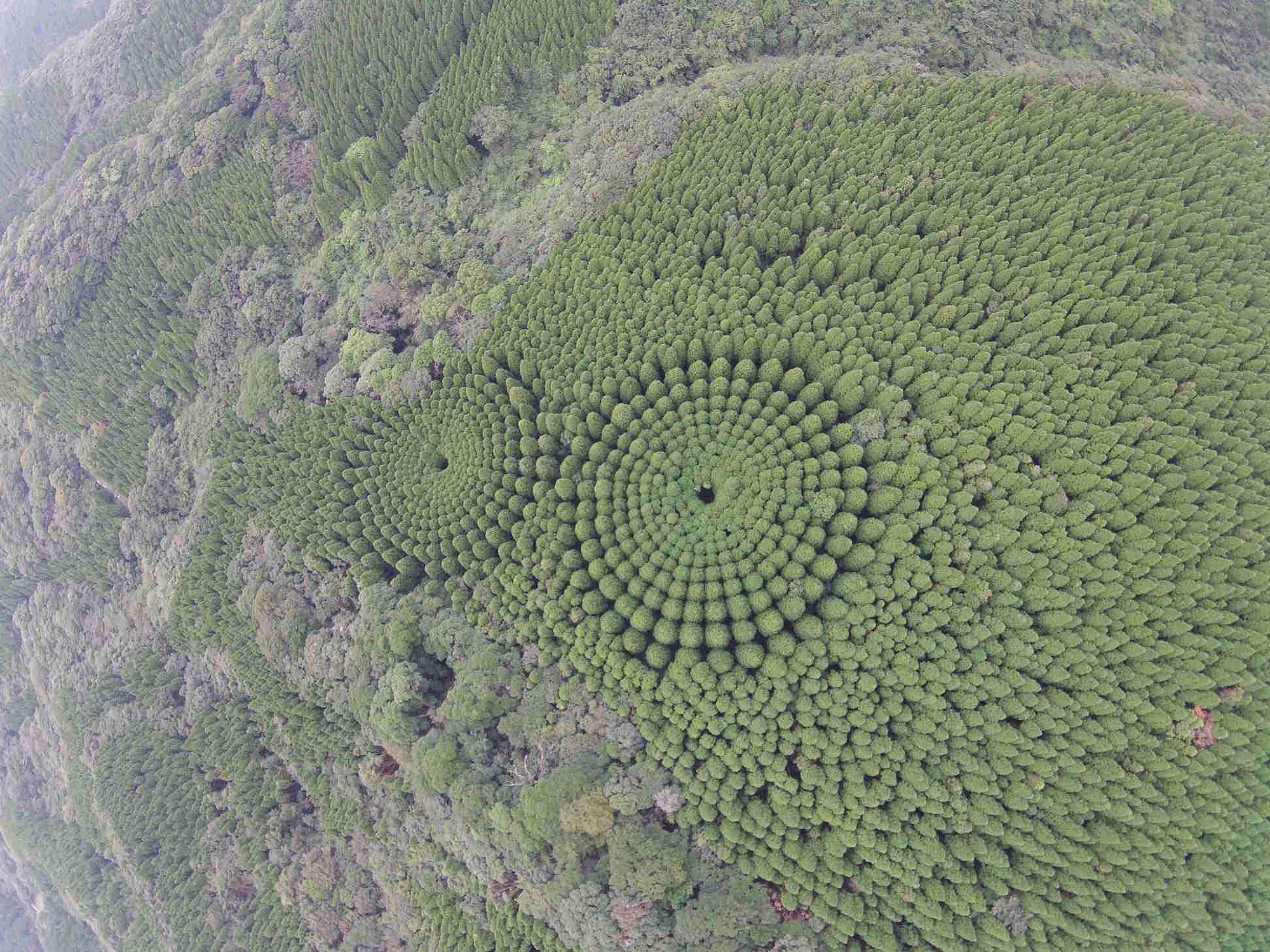 Il curioso caso delle foreste circolari di Miyazaki