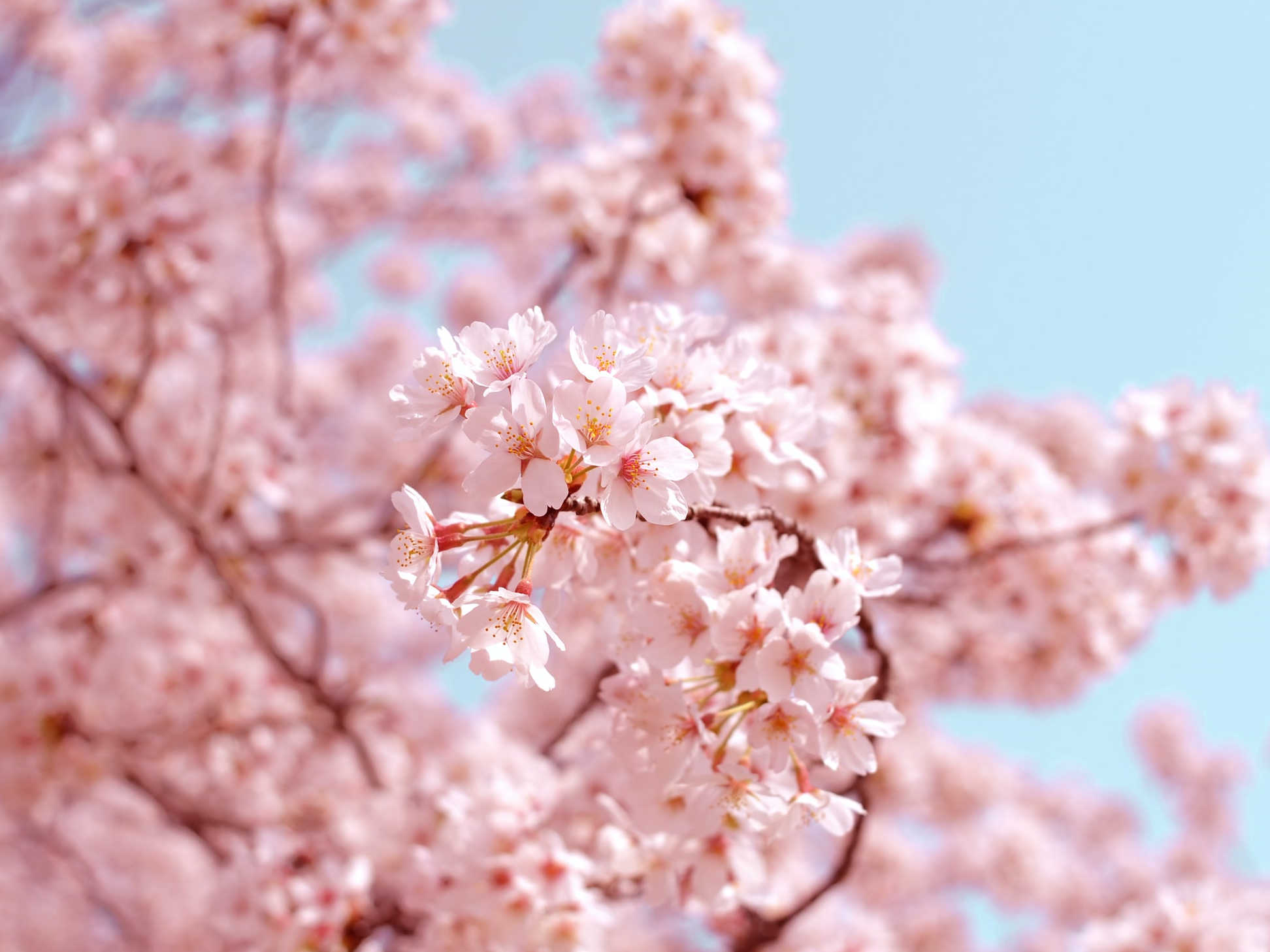La gioia nella contemplazione dei sakura in Giappone